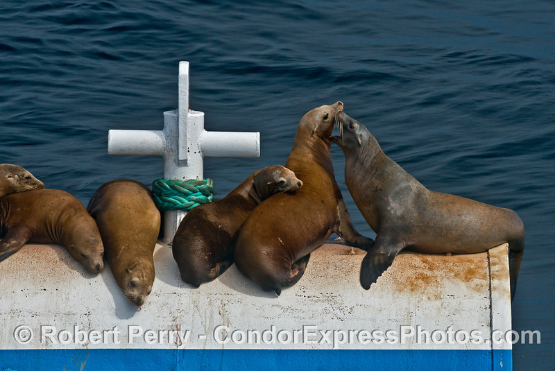 California sea lions hauled out on a mooring can for offshore oil and gas Platform A