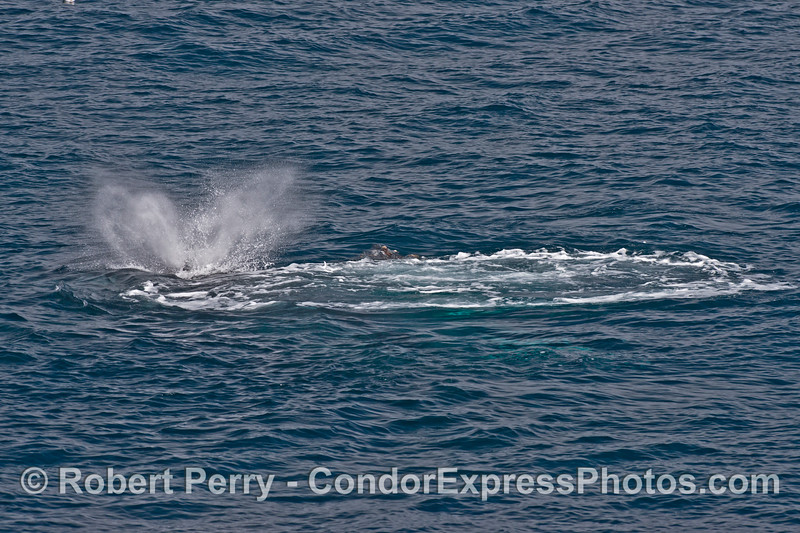 In the aftermath of a huge bubble blast two humpback whales rise up to spout.  (The smaller whale has only exposed the tip of its rostrum on the right of the mother whale)