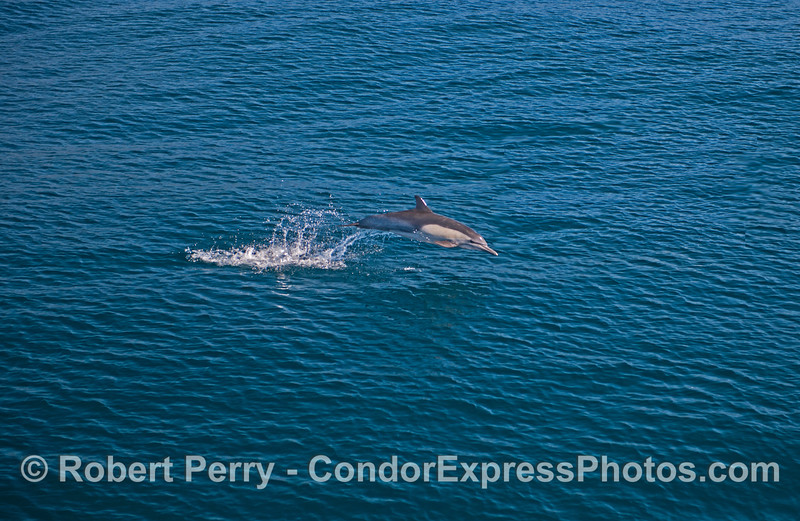 A long-beaked common dolphin leaps across the blue ocean