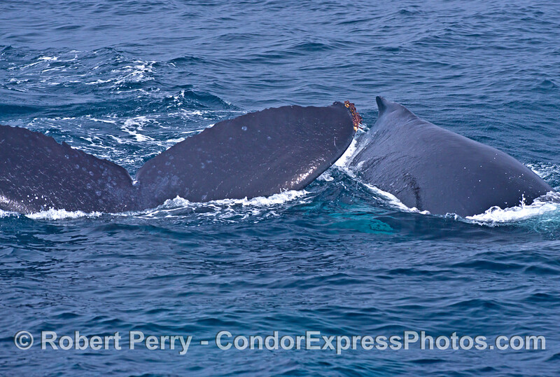Mother and calf humpback whales