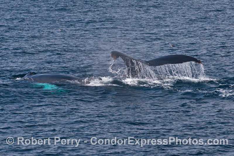 Mother humpback (with tail flukes waterfall) and her calf (left side)