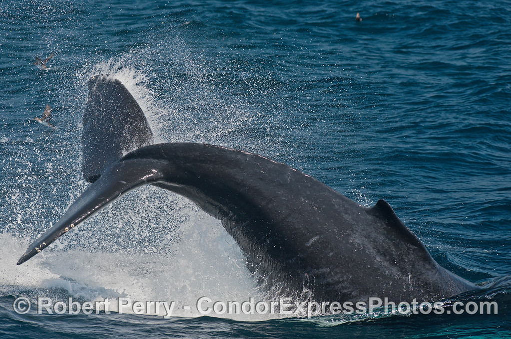 Humpback tail throw - very close to boat