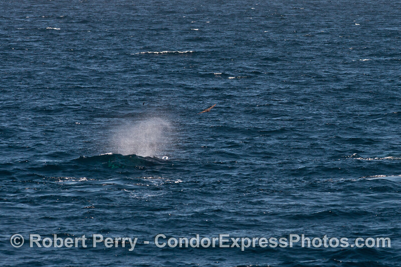 Humpback whale spout in the afternoon breeze - Santa Barbara Channel