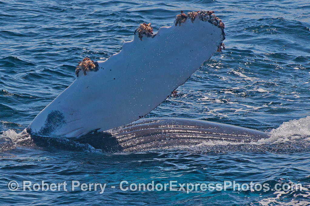 A very close look at the humpback calf on its side with left pectoral waving at you