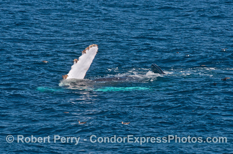 Humpback calf upside down - pectoral fins white on top and bottom   (black vented shearwaters sit nearby)