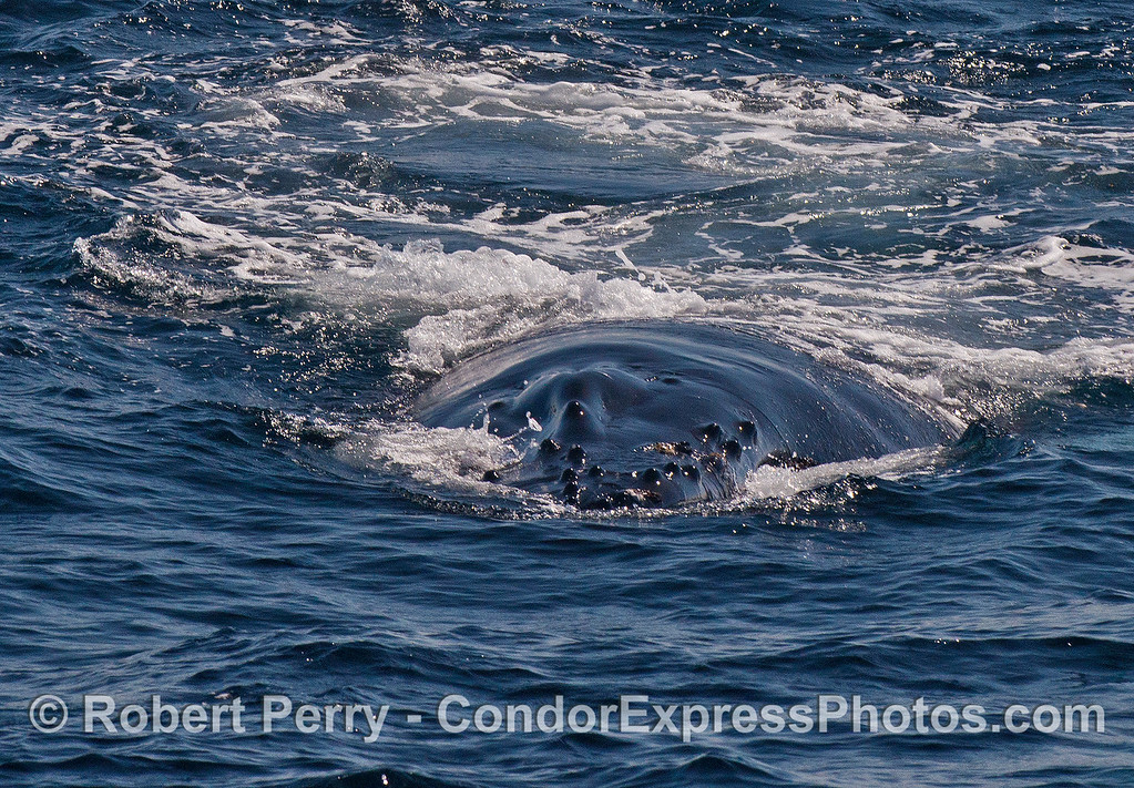 Here it comes !   A humpback makes a friendly close approach and shows us its knobby rostrum