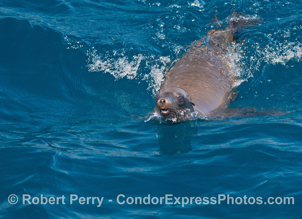 A friendly California sea lion approaches the boat to not miss anything