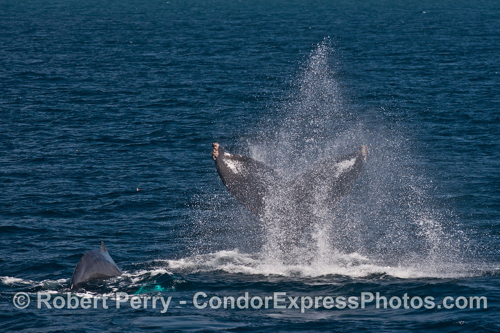 Humpback tail throw -  it's mom and her calf is getting ready to join the fun