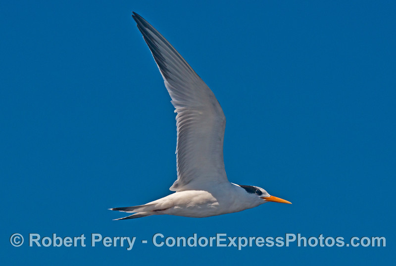 A friendly and highly vocal elegant tern