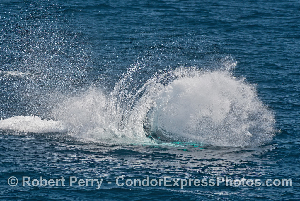 Humpback tail throw -  surfin' USA - splash pattern looks like a breaking wave
