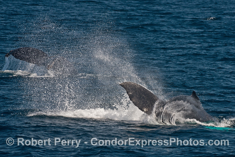 Double tail flukes in action - humpback mother (back) and her calf (front)