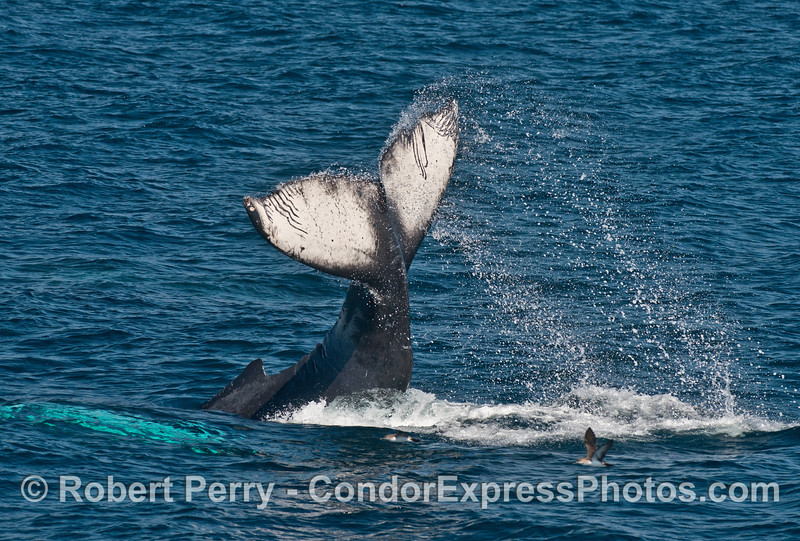 Humpback juvenile - tail throw with good arch  (a black vented shearwater flies to escape)