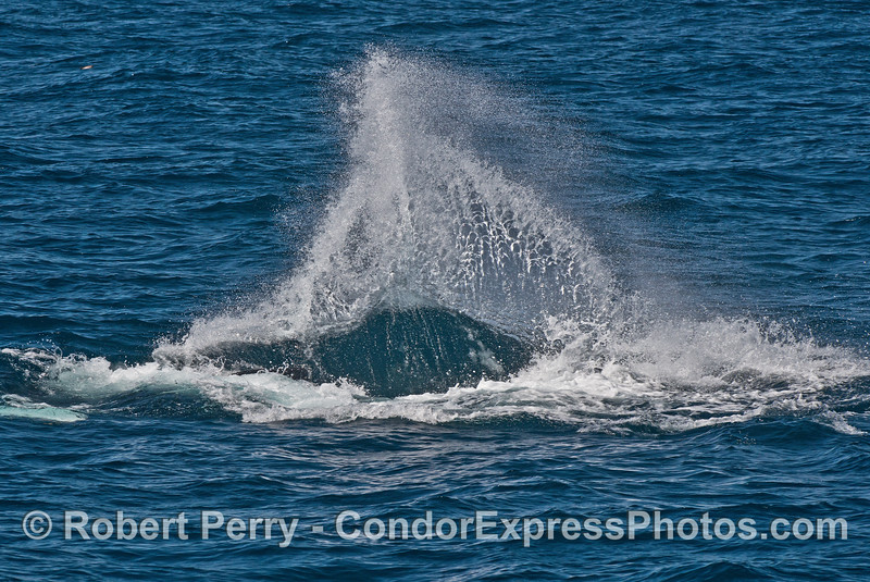 Image 3 of 3 in a row:   a juvenile humpback throws its tail