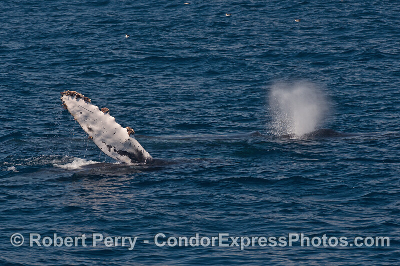 Two humpback whales:  on pectoral fin and one spout