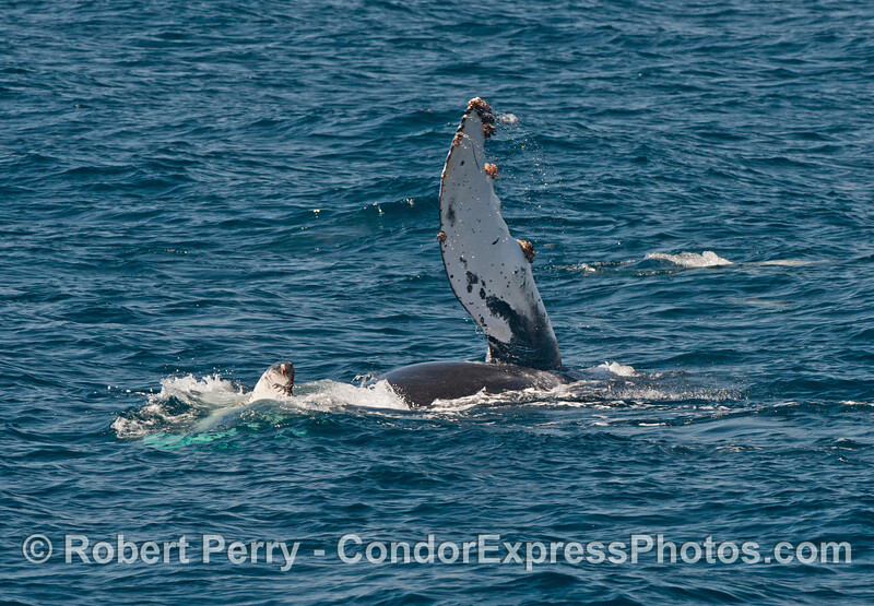 On its side, a humpback slaps its long pectoral fin