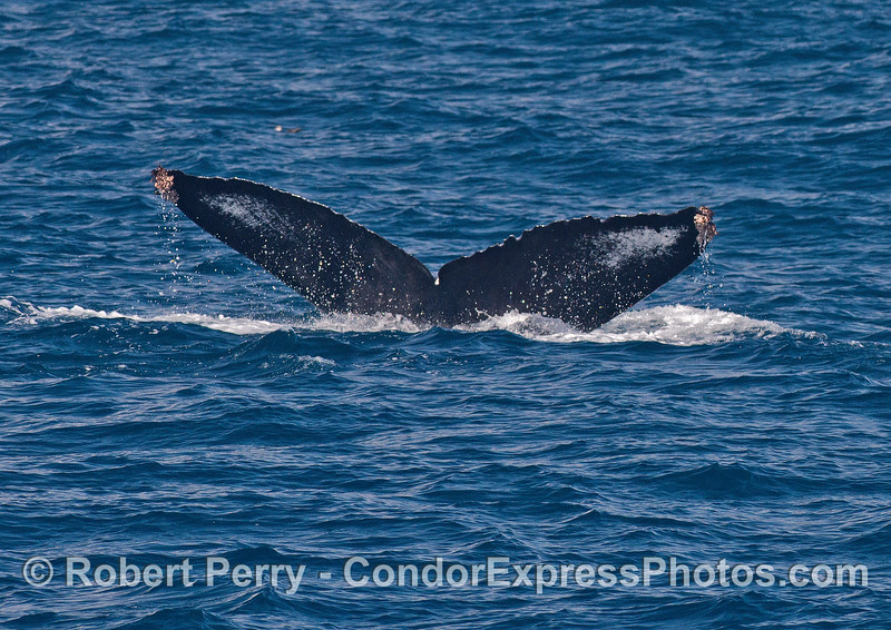 Classic view of a humpback whale's tail flukes as it slides into the deep