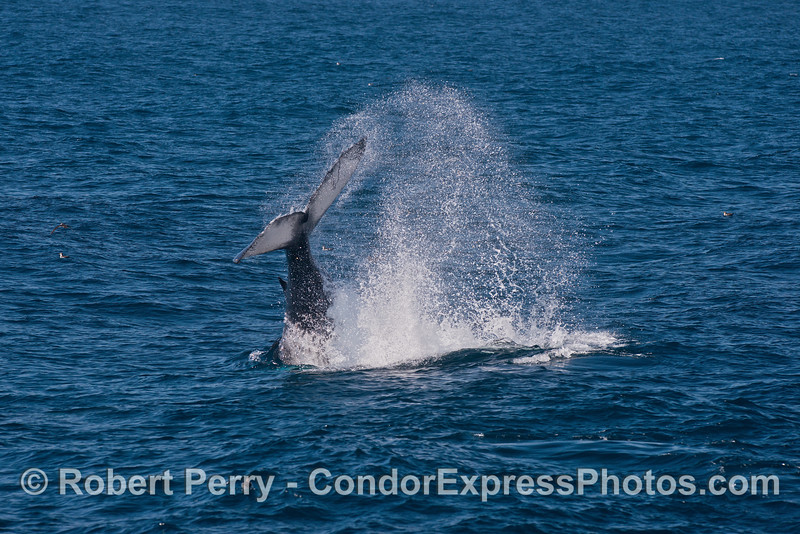 Image 2 of 3 in a row:   a juvenile humpback throws its tail