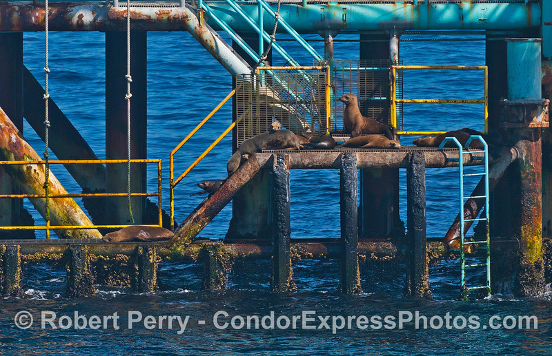 California sea lions on the stairs and landing deck - Platform Henry
