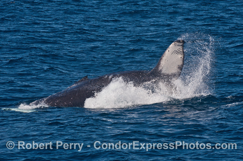"A  juvenile humpback throws its tail - ""rake"" scars from a killer whale attack can be seen on the tail"