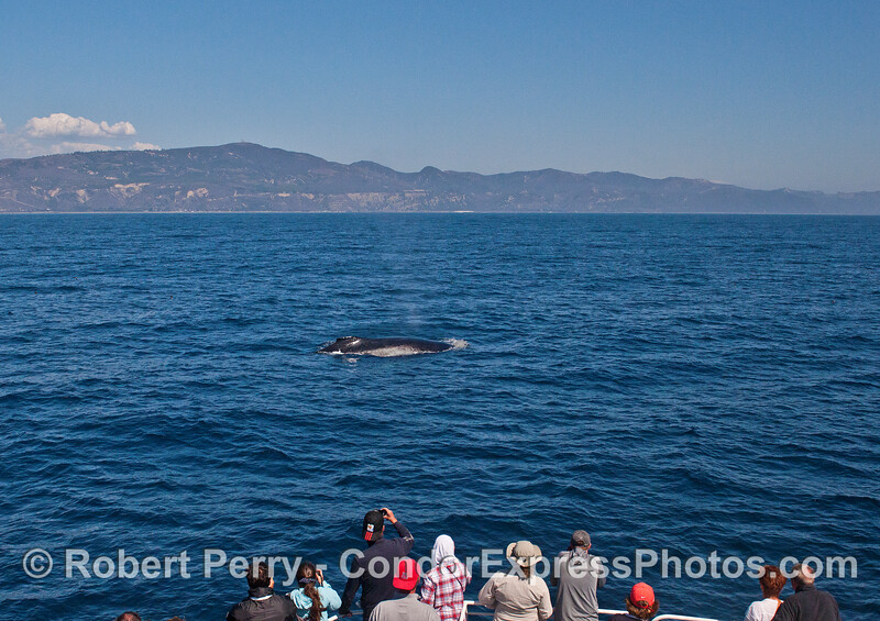 A friendly humpback whale makes a close pass to see its fan club