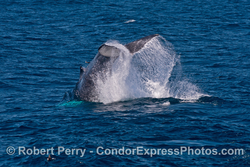 Image 1 of 3 in a row:   a juvenile humpback throws its tail