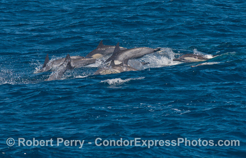 Long beaked common dolphins jump over the waves in unison