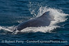 A very close up look at a large adult humpback whale as it comes towards the boat