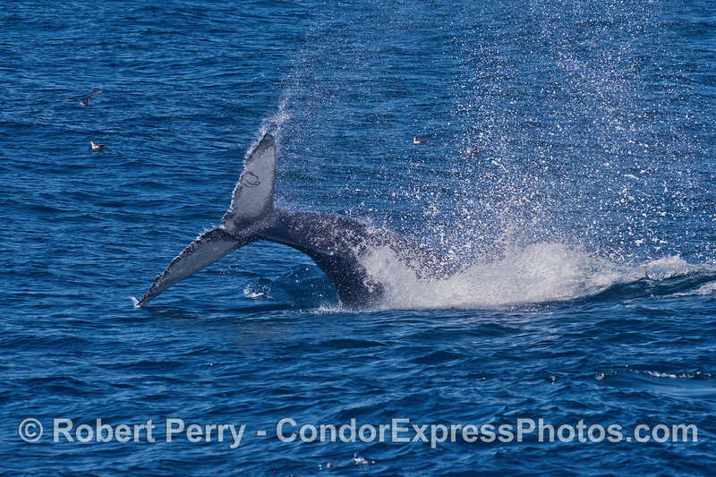 A  juvenile humpback throws its tail