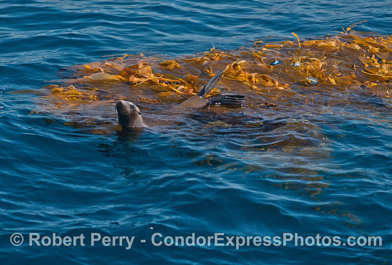 Step 3 - The California sea lion moves in and settles in the giant kelp paddy