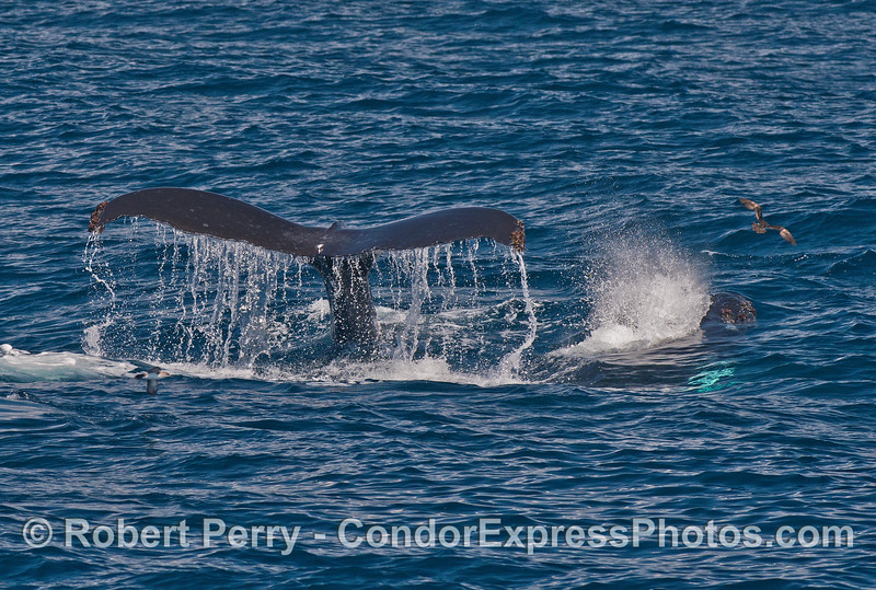 Mother humpback and her spouting calf