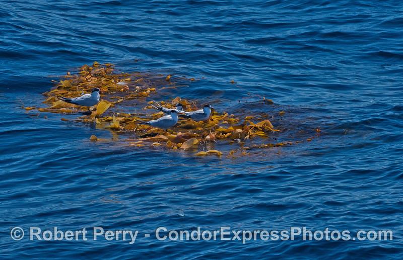 Step 1 - elegant and Forster's terns relax on a drifting giant kelp paddy.