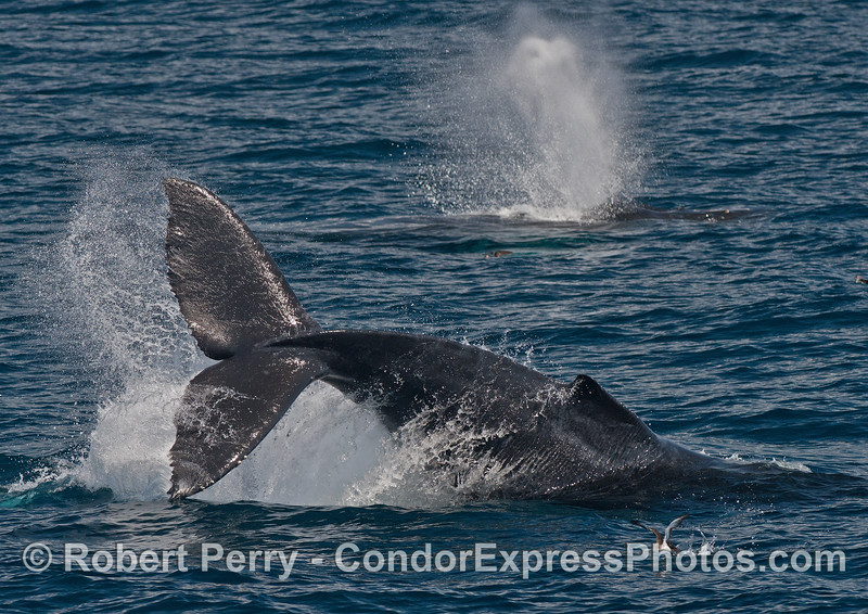 Image 2 of 3 in a row:  A humpback calf throws its tail;  mother is seen in the background.