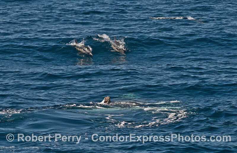 A humpback whale calf rolls around on the surface as two common dolphins surf a wave nearby
