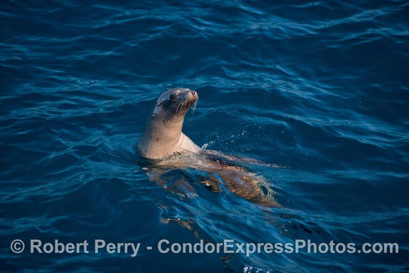 A very curious California sea lion - one of three portraits.