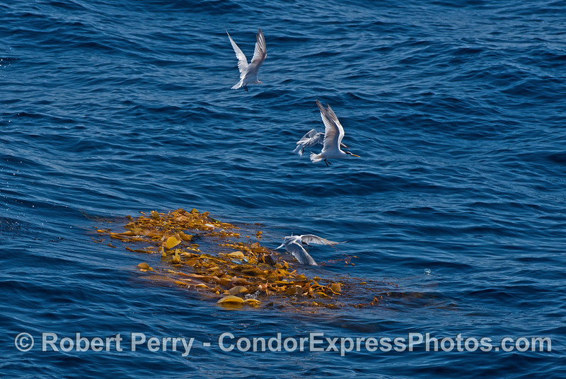 Step 2 - birds take flight as a California sea lion intentionally scares them off the kelp