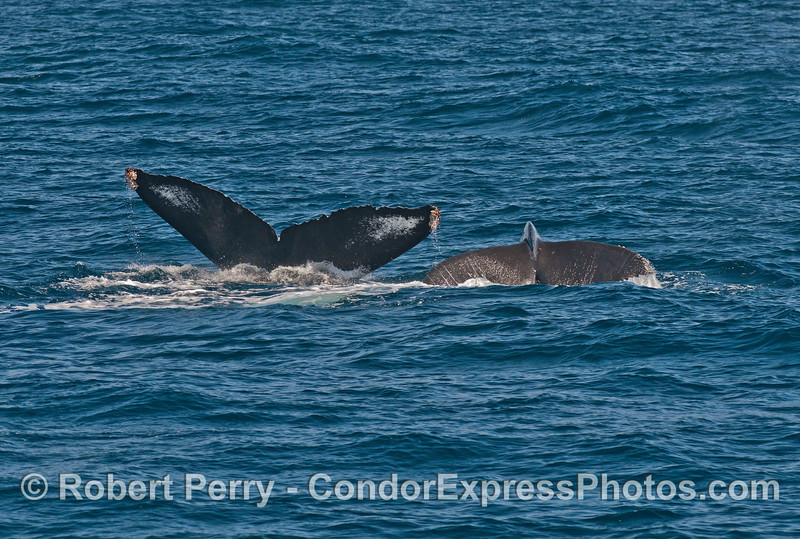 Simulataneous tail flukes:  Mother humpback and her calf