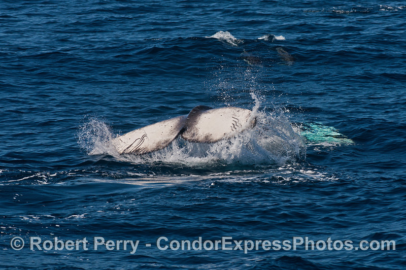 The underside of a humpback calf's tail flukes are visible here as the animal is completely upside down on the surface