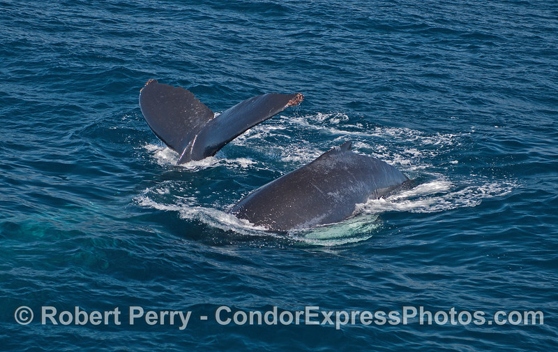 Mother humpback whale and her white-pectoral fins calf