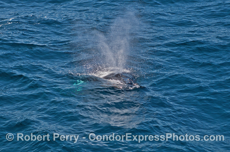 Humpback whale calf comes over to pay a visit to its fan club