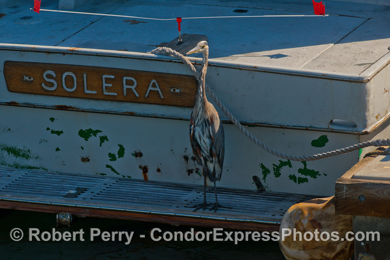 "A great blue heron stands guard on the swim step of ""Solera"" in Santa Barbara Harbor"