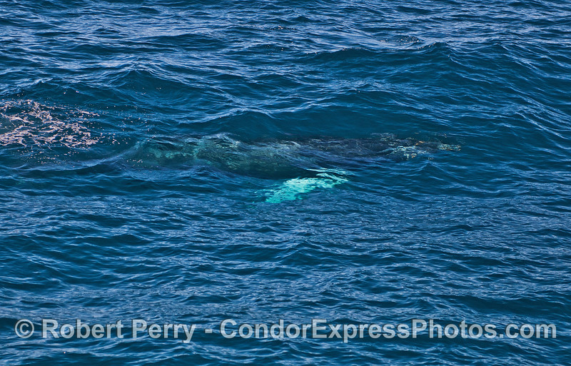 "Image 5 of 5 in a row:  the whole body of a humpback whale calf can be seen under the clear blue water.  The calf has pectoral fins that are white on both sides...hence its nickname ""whitey pects."""