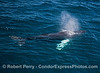 """Image 3 of 5 in a row:  the whole body of a humpback whale calf can be seen under the clear blue water.  The calf has pectoral fins that are white on both sides...hence its nickname """"whitey pects."""""""