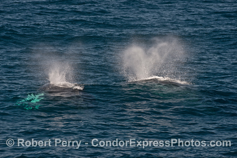 Simultaneous spouts - Mother humpback whale and her white-pectoral fins calf