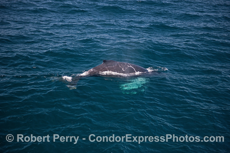"Image 4 of 5 in a row:  the whole body of a humpback whale calf can be seen under the clear blue water.  The calf has pectoral fins that are white on both sides...hence its nickname ""whitey pects."""