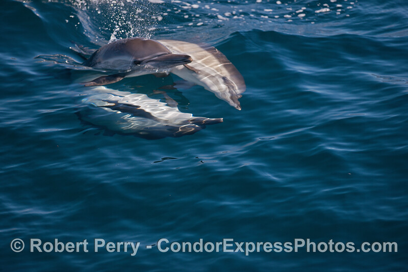 Common dolphin socialization