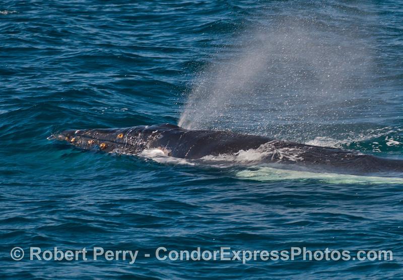 Side view - big spout - humpback whale juvenile