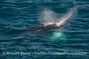 Megaptera novaeangliae 2014 09-18 SB Channel-b-019