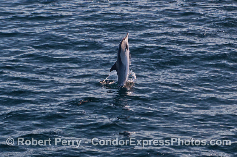 A long beaked common dolphin takes a leap