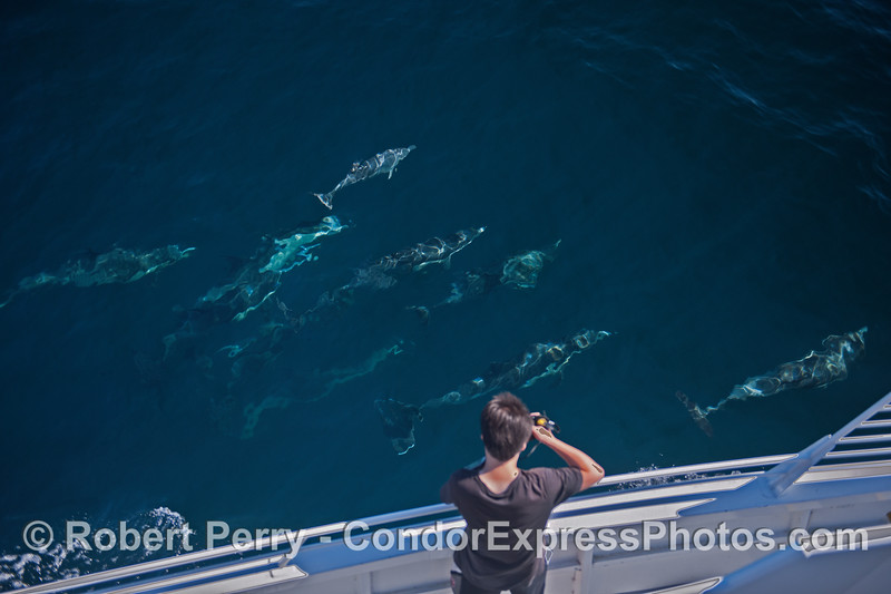 A photographer on board gets a great look at part of a large pod of long beaked common dolphins seen in clear blue water