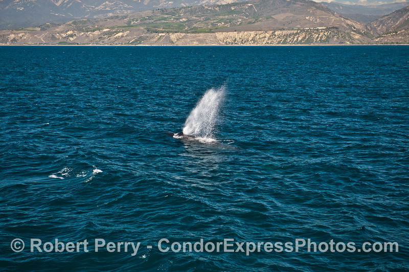 A huge geyser-like spout from an adult humpback whale is seen with the western Ventura coast and Santa Ynez foothills in back